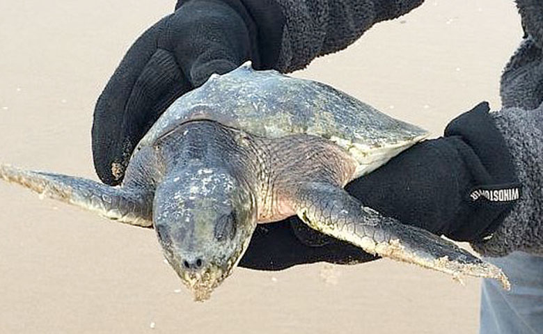 The Kemp's Ridley sea turtle found on Fomby beach (Lancashire Wildlife Trust)