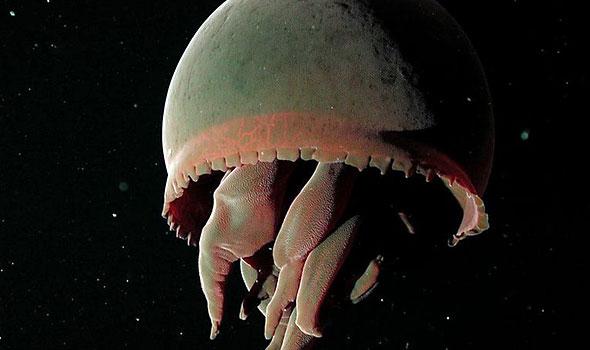 """Big-red"" Jellyfish"