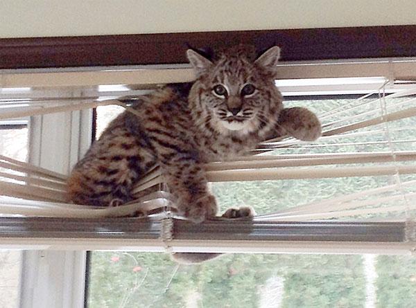 bobcat stuck in the window