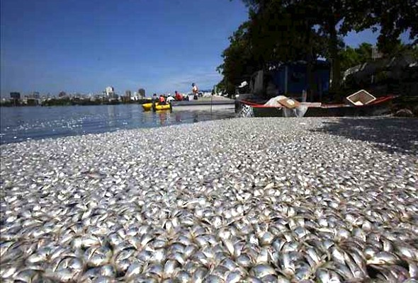 Dead fish in Brazilian Lagoon