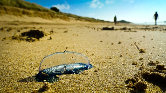 Velella - By-the-wind Sailor
