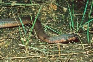 Chameleon snake
