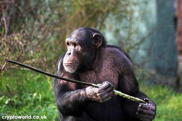 Are Chimpanzees Intelligent?