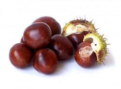 Conkers from the Horse Chestnut Tree
