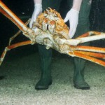 3m Crab Kong