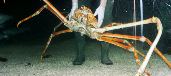 The 3m Spider Crab, dubbed Crab Kong