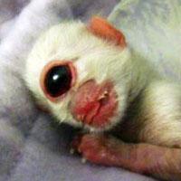 Cyclops Kitten, fake or real?