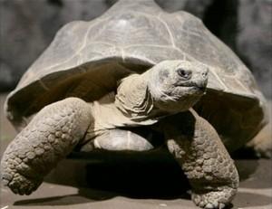 Darwin's tortoise Harriet