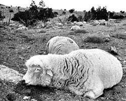 Dead sheep, Skull Valley 1968