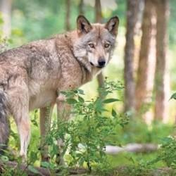 Denmark Wolf