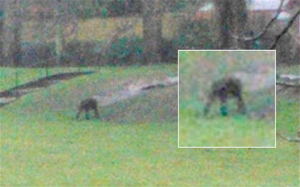 Terri Leigh Cox took this photograph of the primate shortly before it scampered up a tree in Dorchester, Dorset (c) Terri Leigh Cox