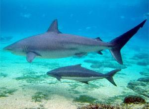 dusky-shark2