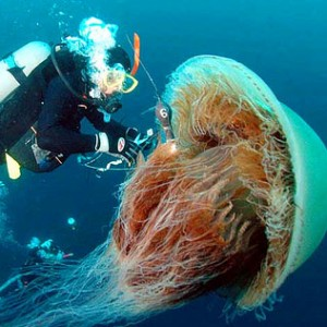 Huge, the Echizen Jellyfish