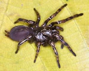 A female Fufius lucasae Copyright Rogerio Bertani