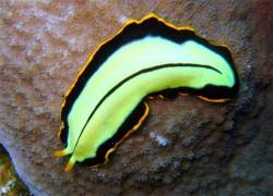 Flatworm Pseudoceros dimidiatus