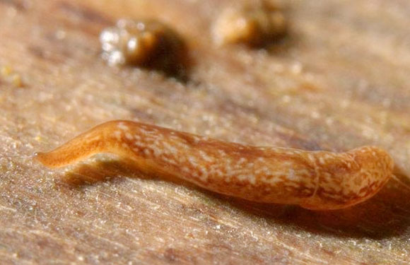 A flatworm with as many as 60 eyes. Photo credit Brian Eversham