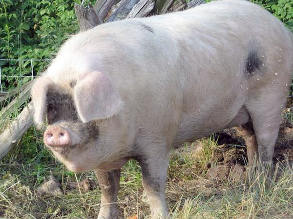 The angry 600lb boar attacked a 74-year-old woman