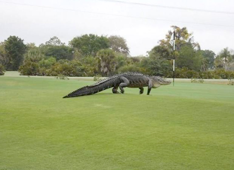 An American alligator estimated to be 12-13 feet long walks onto the edge of the putting green on the seventh hole of Myakka Pines Golf Club.