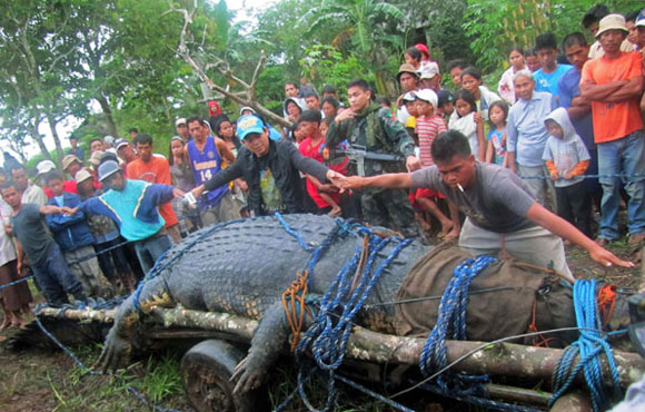'Largest' crocodile caught in Philippines?
