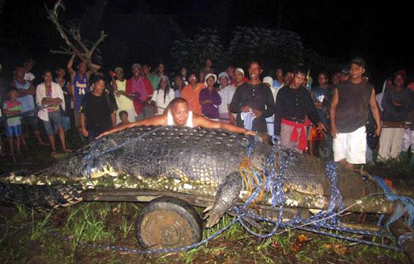 The 21-feet (6.4 metres) saltwater crocodile!