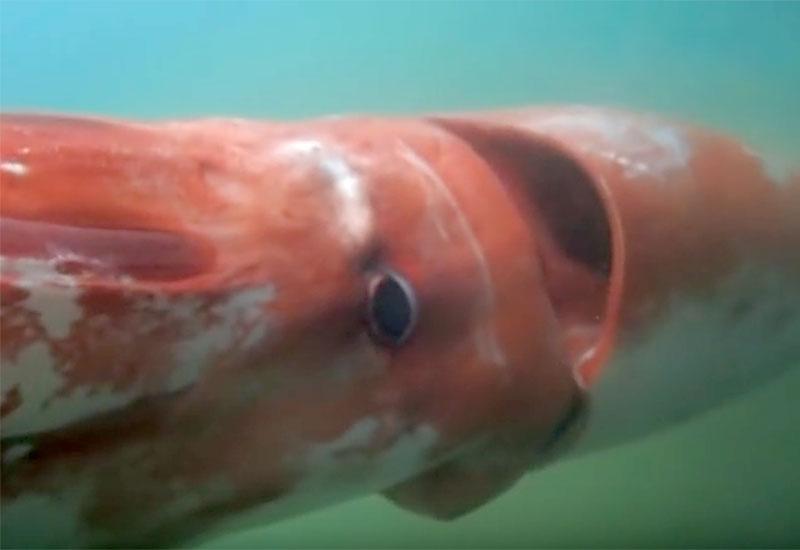Giant Squid Japan