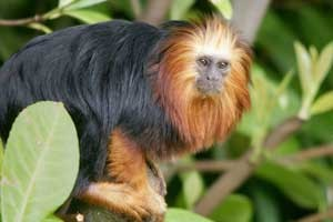 golden-headed-lion-tamarin