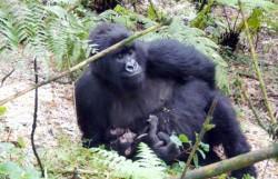 Rare Gorilla Twins