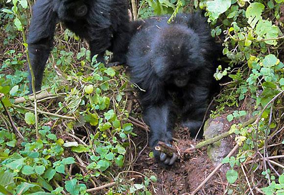 Wild gorillas Rwema and Dukore destroy a primitive snare in Rwanda