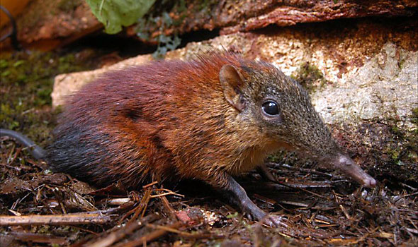 Grey Faced Sengi