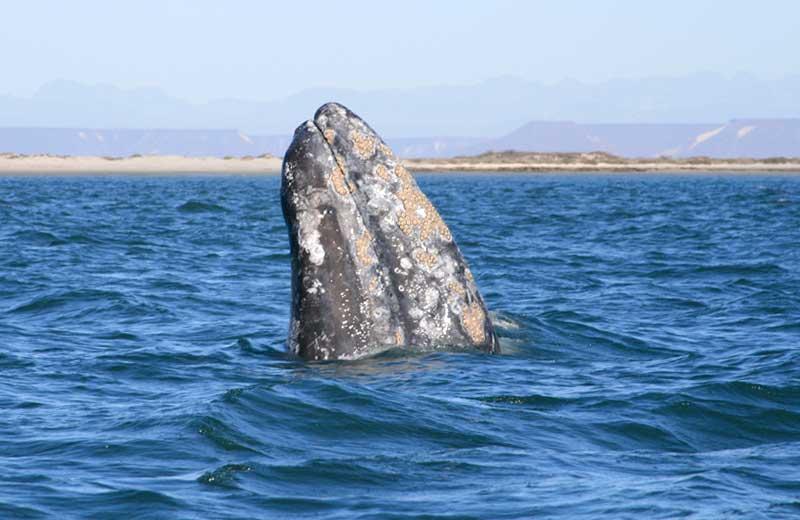 "Gray Whale, Baja (c) <a href=""""https://www.flickr.com/photos/ryanh/2344144249"""" target=""""_blank"""">Ryan Harvey</a>"