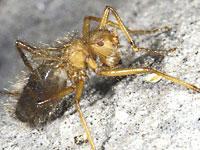 Mormotomiya Hirsuta - Hairy Fly
