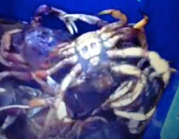 Jesus Crab