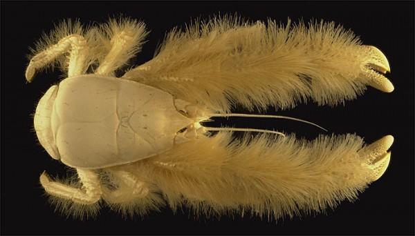 The Hairy Crab - Kiwa Hirsuta