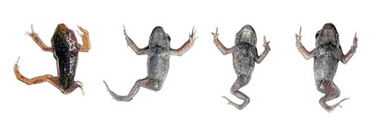 legless-frogs