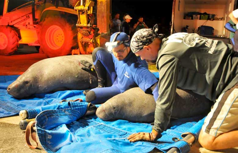 Gentle giants rescued from #SatelliteBeach storm drain #manateerescue