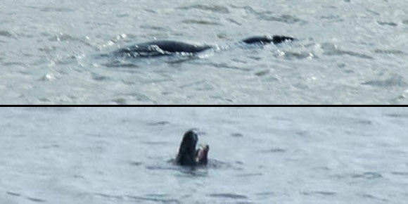 Mystery sea creature spotted in the Mersey has experts baffled!