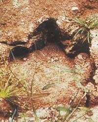 Mokele-mbembe footprint?