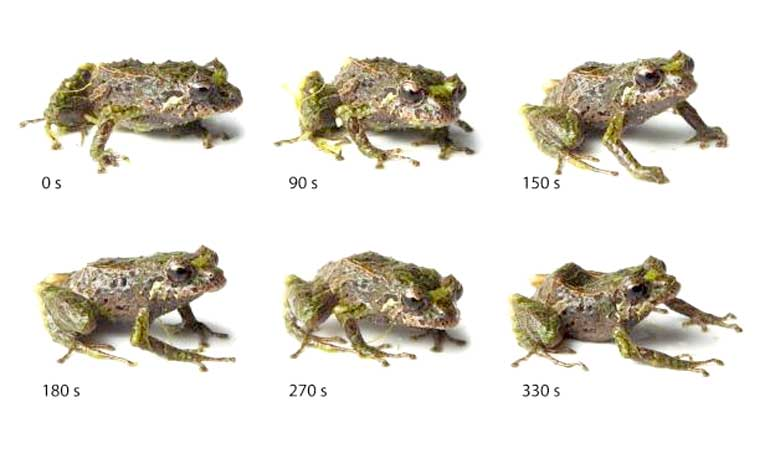 Picture showing how the frog can change texture.