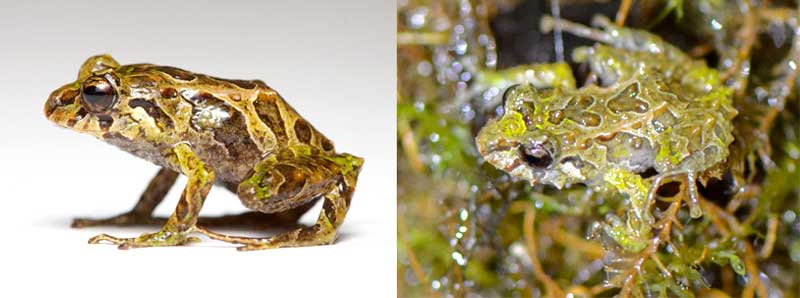 The mutable rainfrog can go from smooth (left) to spiny in minutes.