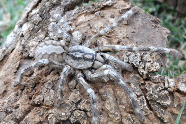 The female spider (Picture: Ranil Nanayakkara/British Tarantula Society)