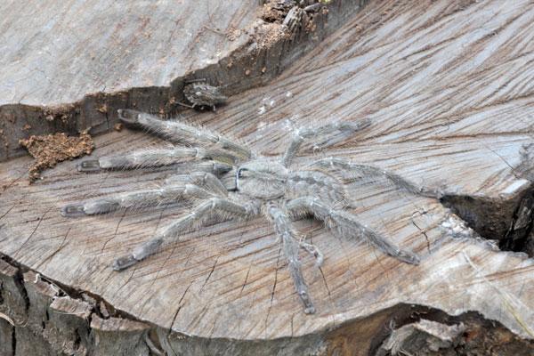 Huge spider as big as your Face (Picture: Ranil Nanayakkara/British Tarantula Society)