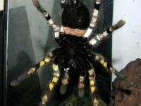 Distinctive markings on the underside of the tarantula (Picture: Ranil Nanayakkara/British Tarantula Society)