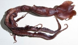 New large species of squid found