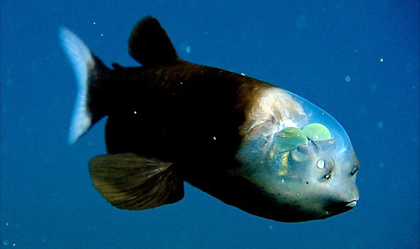 Pacific Barreleye