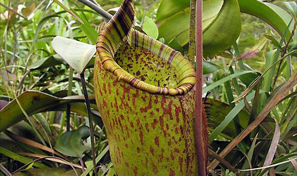 Palawanensis Pitcher Plant