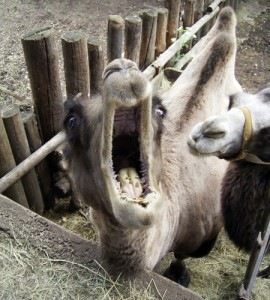 Pet Camel Dangers