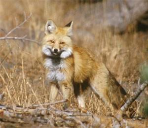 Sierra Nevada red fox, photographed in 2002, Lassen Volcanic National Park.