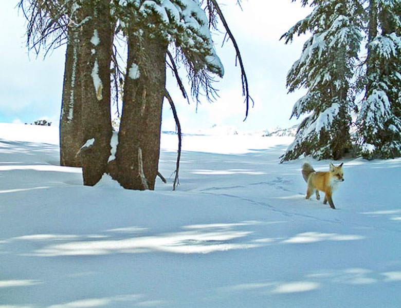 Rare Sierra Nevada red fox trots through Yosemite National Park