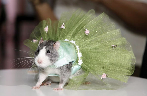 Perriwinkle the Rat in her emerald green tutu!