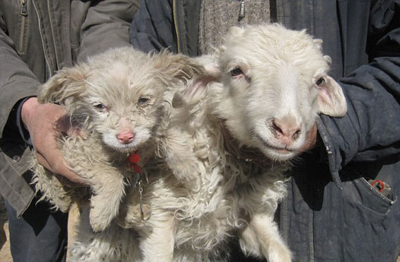 Weird, Puppy/Lamb and its Ewe Mother?
